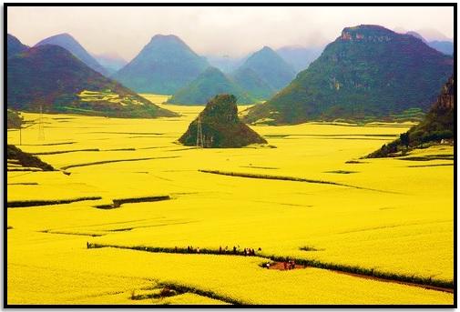 Kanola Çiçek Tarlaları, Çin