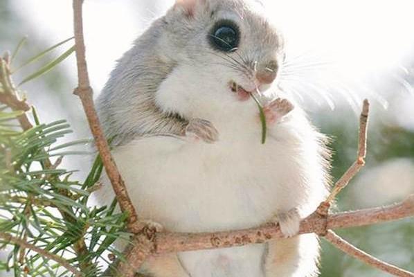 En tatlı hayvanlar - Ezo Momonga