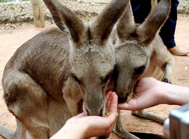 Avustralya-Kanguru-Bölgesi