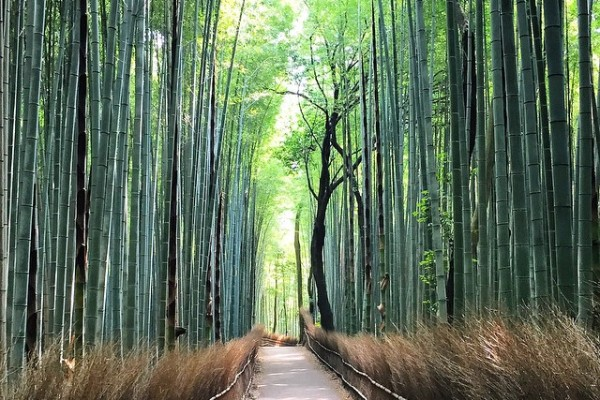 Japonya Kyoto - Arashiyama Bambu Ormanı