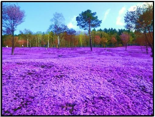 Shibazakura Çiçekleri, Takinoue Parkı, Japonya