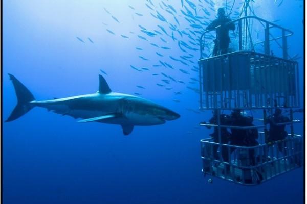 Köpek Balığı Dalışı Yap