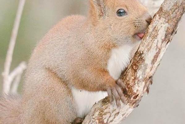 En tatlı hayvanlar - Hokkaido Kırmızı Sincap