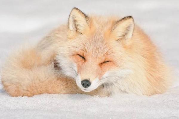 En tatlı hayvanlar - Hokkaido Kırmızı Tilki