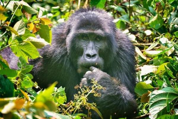 Uganda - Gorilla Safarisi